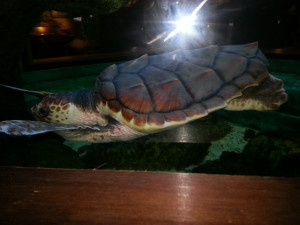 Nature Center  Loggerhead Turtle